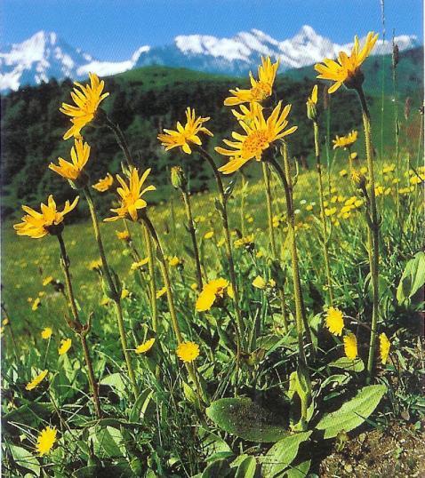 Arnika - arnica montana