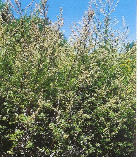 Beifuß - artemisia vulgaris