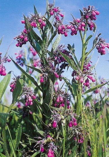 Beinwell - symphytum officinalis
