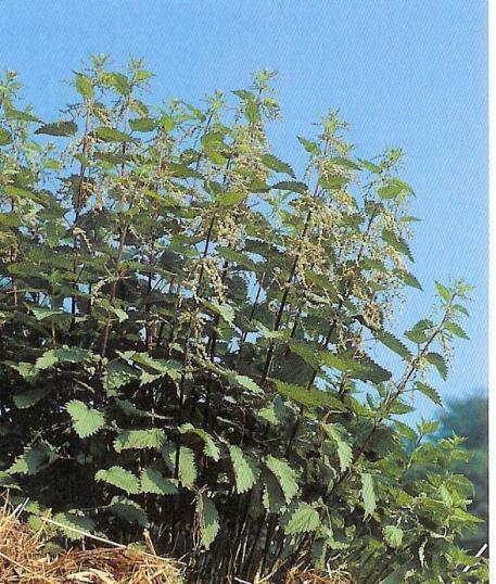 Brennessel - urtica dioica