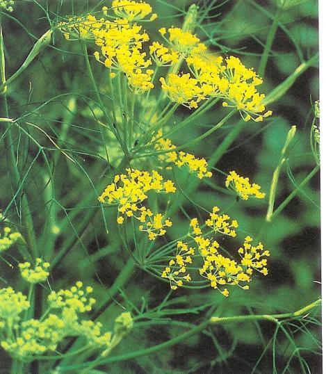 Fenchel - foeniculum vulgaris