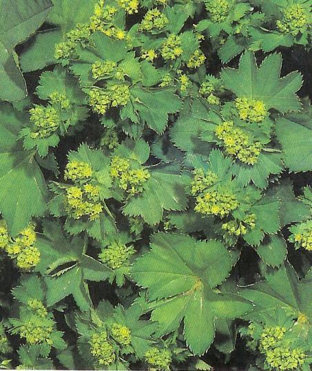 Frauenmantel - alchemilla vulgaris