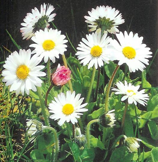 Gänseblümchen - bellis perennis