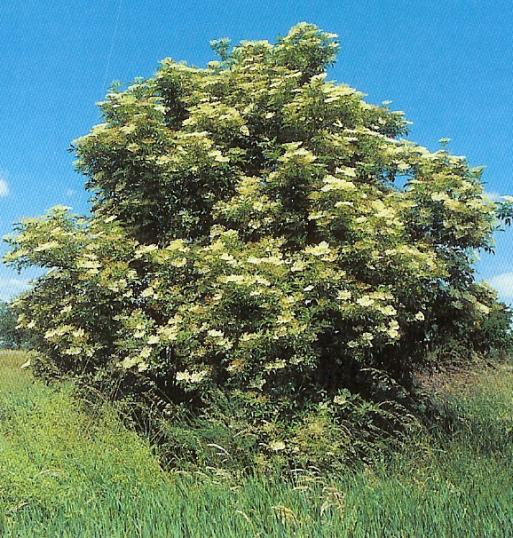Holunder - sambucus nigra