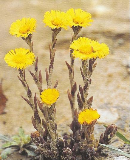 Huflattich - tussilago farfarae