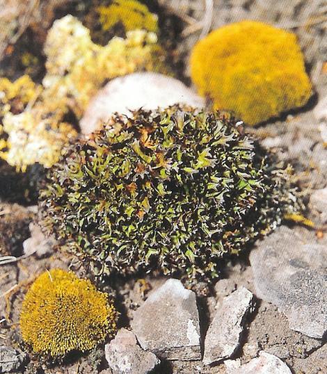Islandflechte - lichen islandica