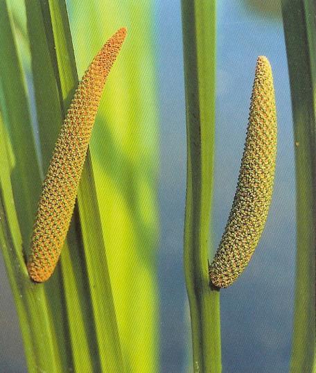 Kalmus - acorus calamus
