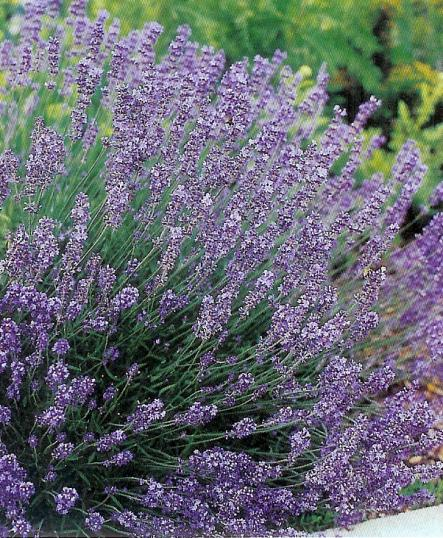 Lavendel - lavendula angustifolia