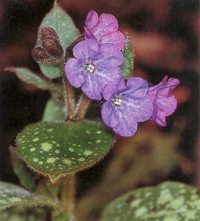 Lungenkraut - pulmonaria officinalis
