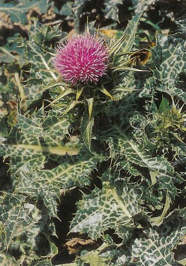 Mariendistel - Carduus marianus