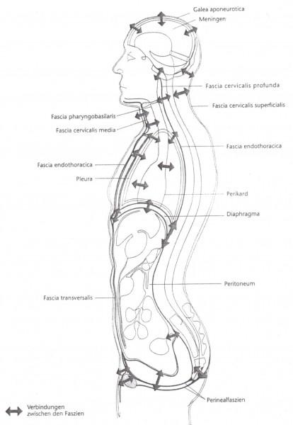 Faszienmodell der osteopathie