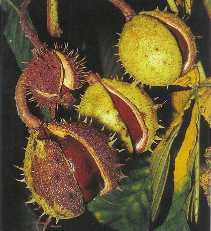 Rosskastanie - aesculus hippocastanum