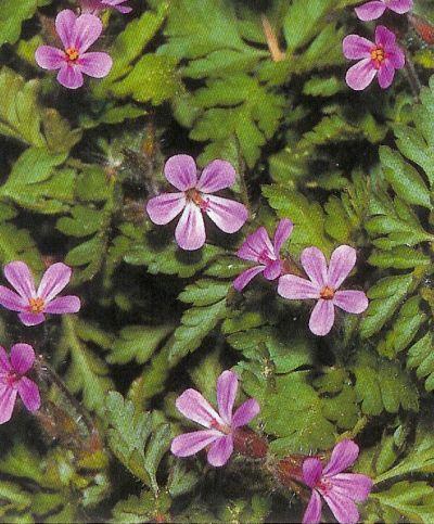 Ruprechtskraut - geranium robertianum