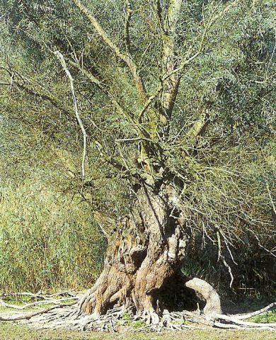 Silberweide - salix alba