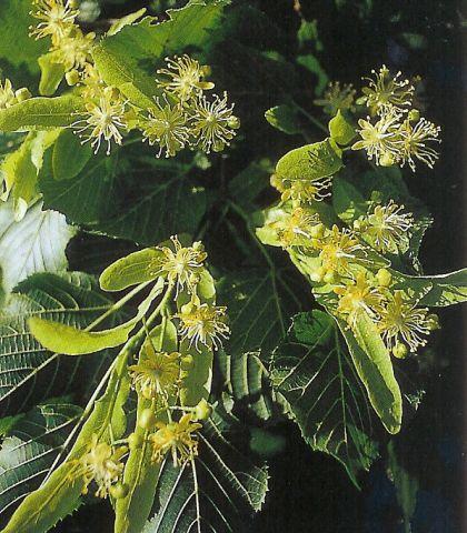 Sommerlinde - tilia platyphyllos