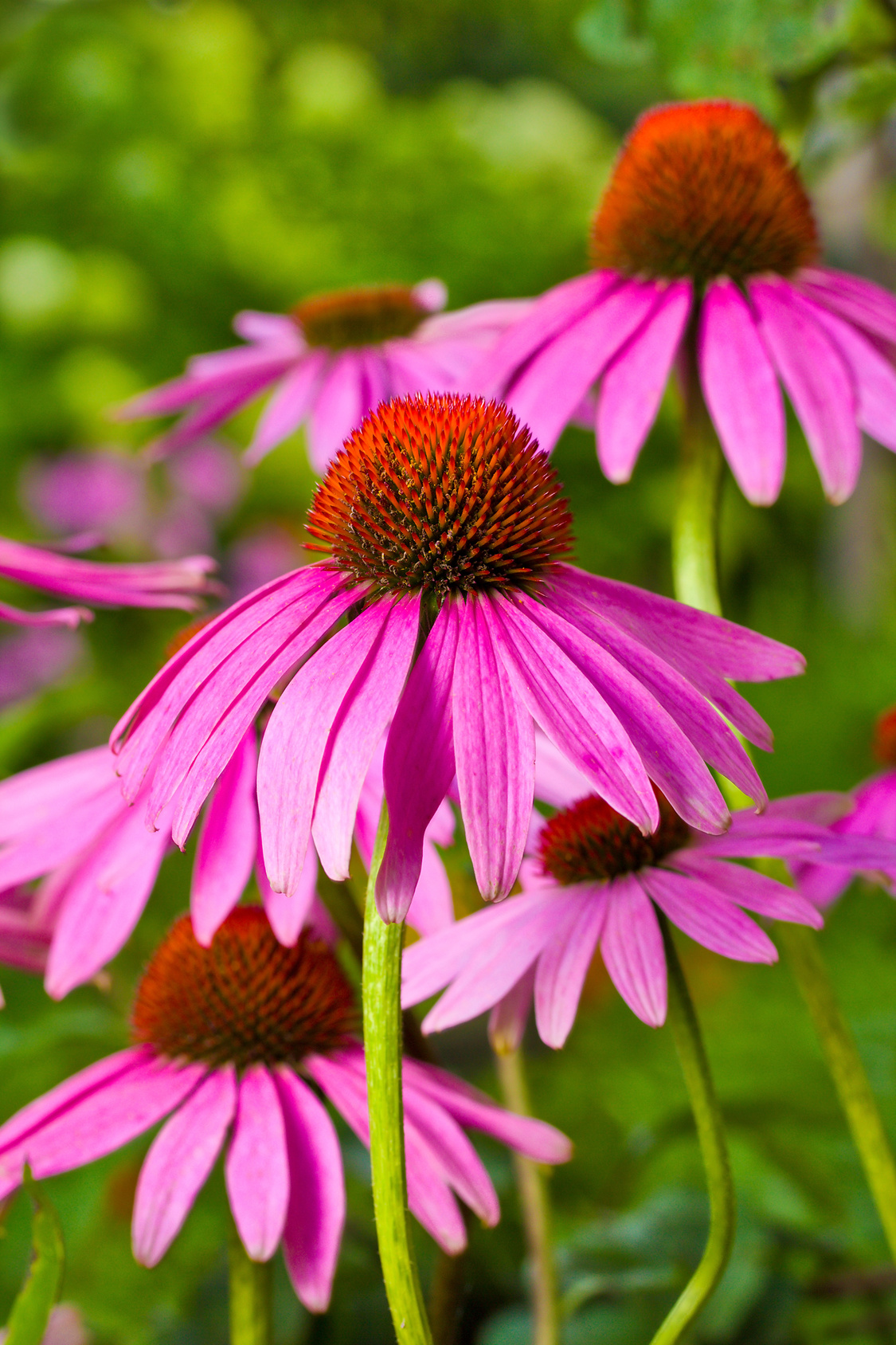 sonnenhut - echinacea_angustifilia