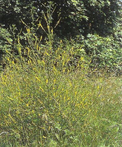Steinklee - melilotus officinalis