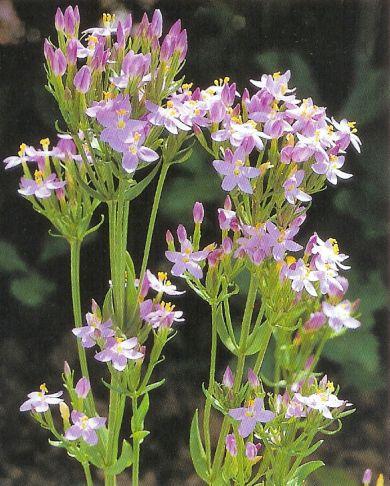 Tausendgüldenkraut - centaurium erythraea