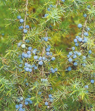 Wacholder - juniperus communis
